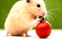 Hvad skal man gøre, hvis hamster slipper ud af buret