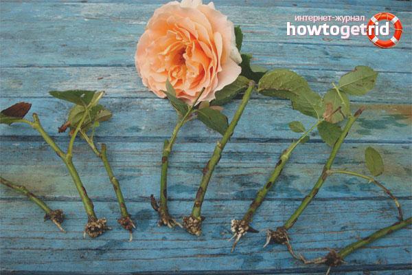 Keratan bunga ros