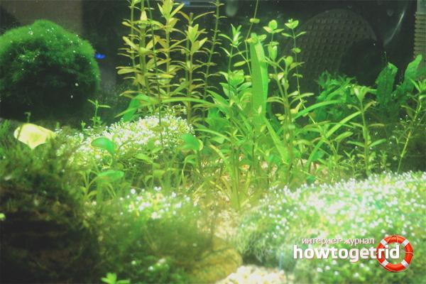 Como se livrar de algas negras em um aquário