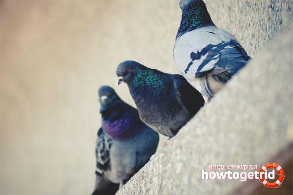 Wie man Tauben auf der Fensterbank loswird
