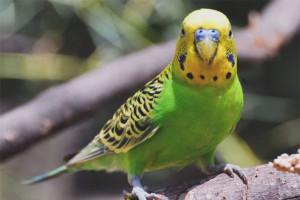 Како научити папагаја да говори