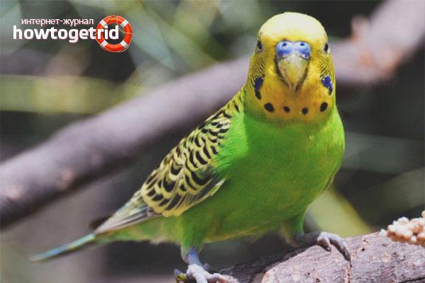 Wie man einem Papagei das Sprechen beibringt