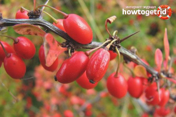 Cara menanam barberry