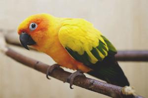 Како угријати папагаја ако је код куће хладно