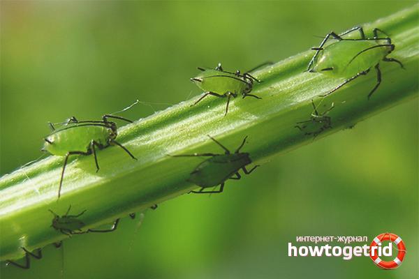 Wie man Blattläuse auf Innenblumen loswird