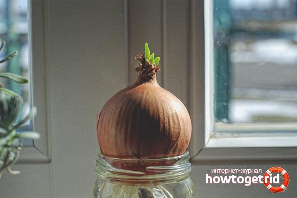 หัวหอมเติบโตในน้ำ
