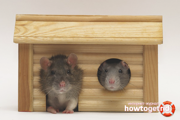 Maison pour le rat