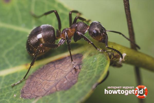 Hogyan lehet megszabadulni a járda hangyáitól