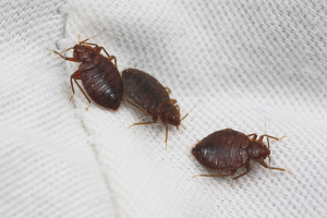 Yatak böcek kurtulmak için nasıl