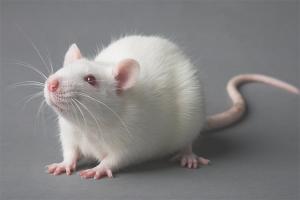 Sådan plejes en rotte