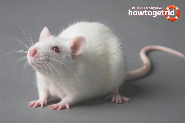 Comment prendre soin d'un rat