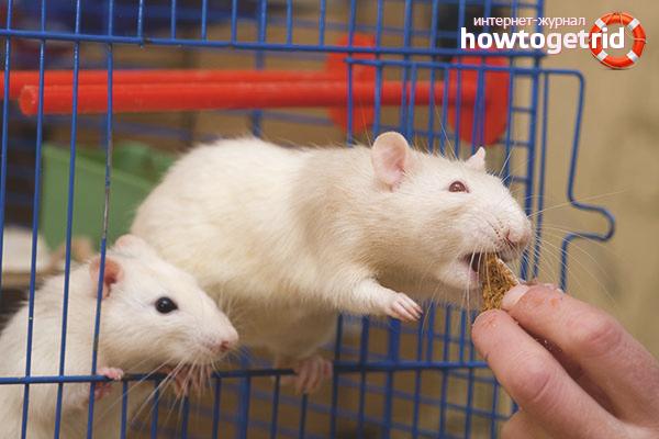 Alimentation des rats