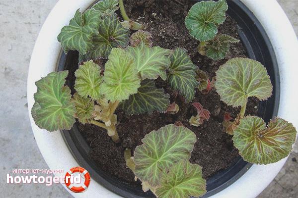 Begonia plantering