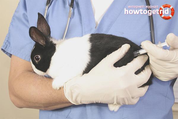 Vacunació i tractament de conills