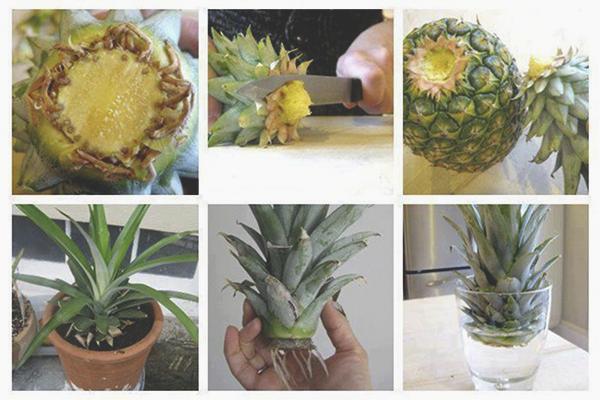 Yukarıdan büyüyen ananas