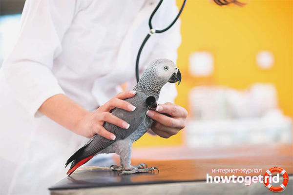 Boli de papagal