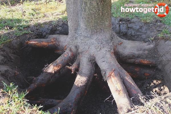 Làm thế nào để thoát khỏi rễ cây