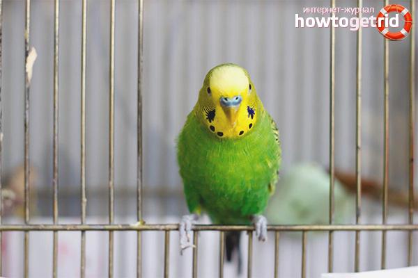 Cum să înveți un papagal într-o tavă