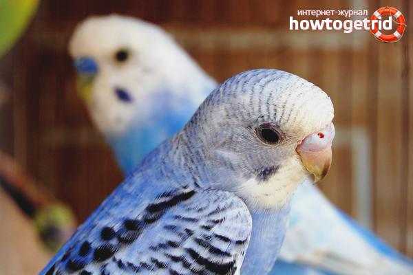 Cum să ai grijă de un papagal