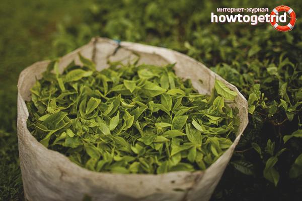 Cara menanam teh