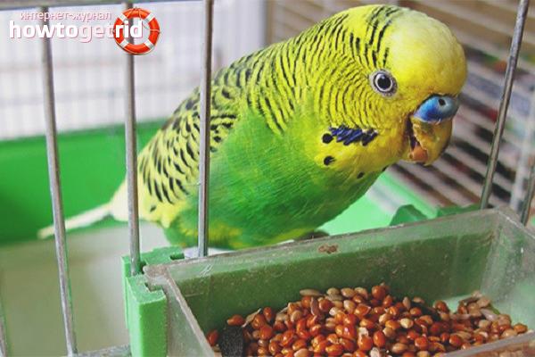 Papagali hrăniți