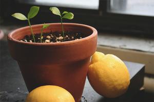 Wie man eine Zitrone anbaut