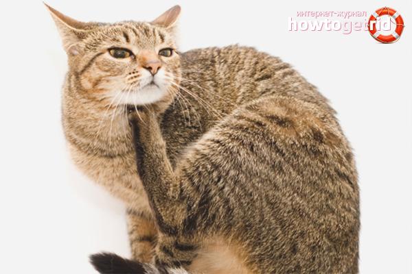 Comment éliminer les puces d'un chat en utilisant des méthodes folkloriques