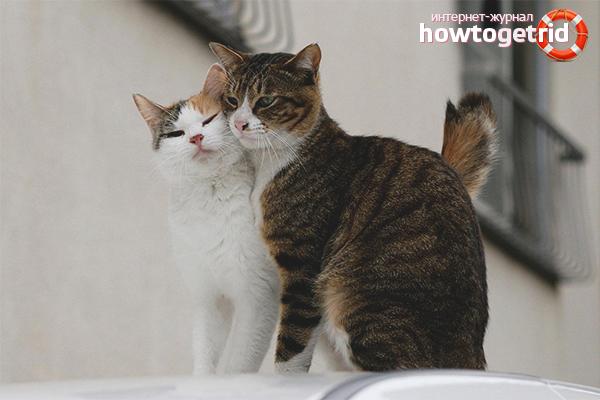 Kaķis partnera meklējumos