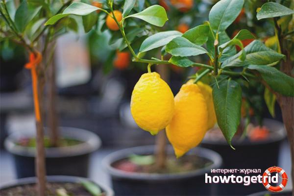 Kami menanam buah sitrus