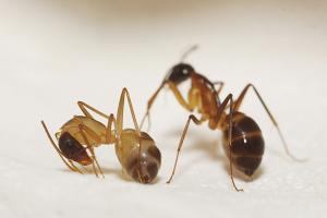 Bir apartmanda kırmızı karıncalardan nasıl kurtulur