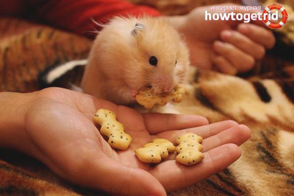 Comment apprivoiser un hamster dzungarien