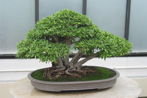 Wie man einen Bonsai züchtet