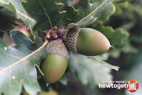 Cara menanam oak dari biji