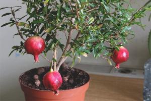 Wie Granatapfel aus Samen wachsen