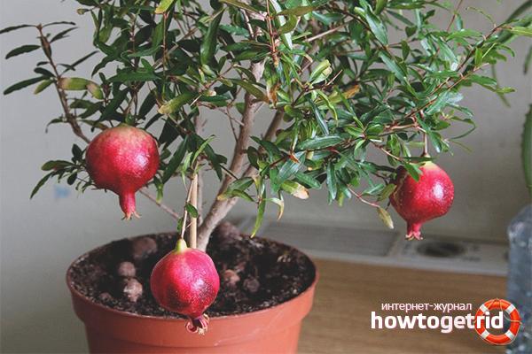 Tohumdan nar nasıl yetiştirilir