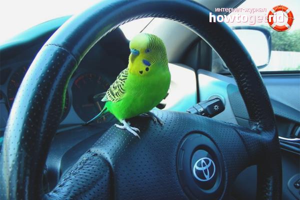 Wie man mit einem Papagei im Auto fährt