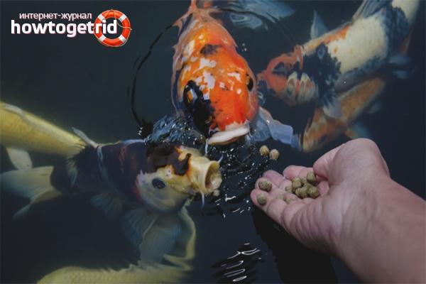 Com alimentar els peixos de l'aquari