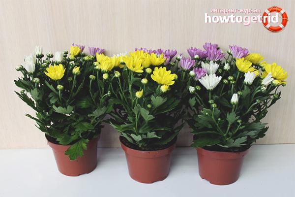 Wie man hausgemachte Chrysanthemen in einem Topf pflegt