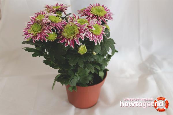 Wie man Topf Chrysantheme pflegt
