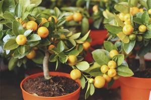 כיצד לטפל בעץ מנדרינה