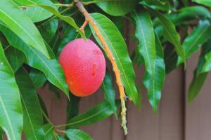 Wie man Mango aus Samen züchtet