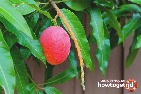 Cara menanam mangga dari biji