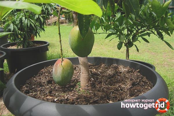 Cara menanam mangga di kebun peribadi