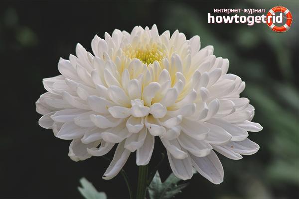 Warum blüht die Chrysantheme nicht?