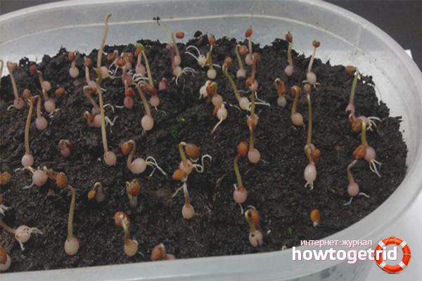 Cyclamen Samen pflanzen
