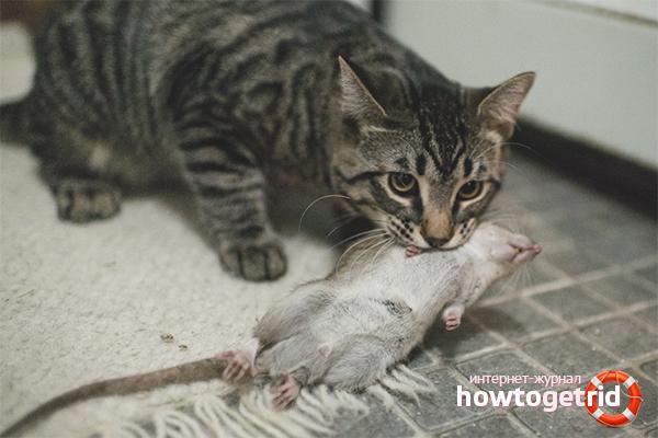 Sıçanlardan biyolojik silahlar