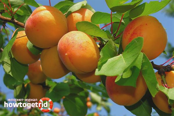 Cara menanam aprikot dari biji