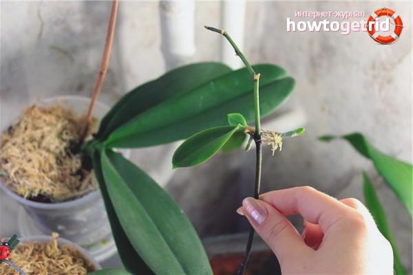 Kā pavairot orhideju