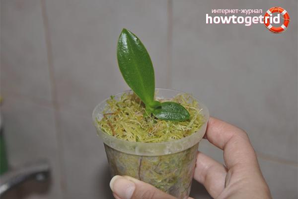 Orhideju pavairošana ar spraudeņiem