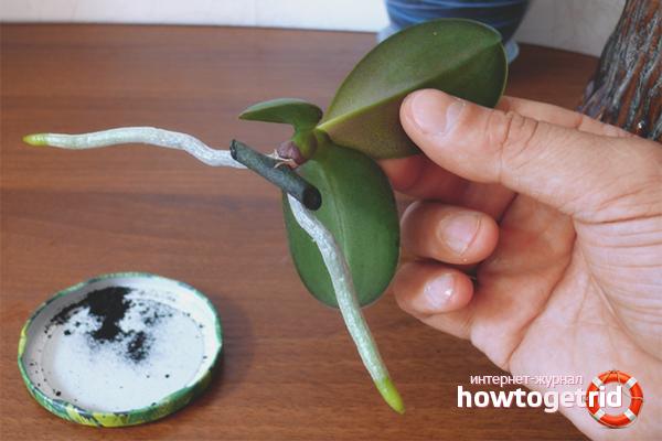 Orhideju ziedu kātiņa pavairošana